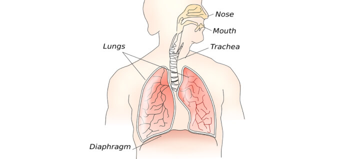 Structure of the respiratory system