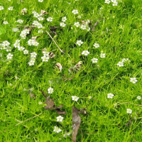 Irish Moss picture