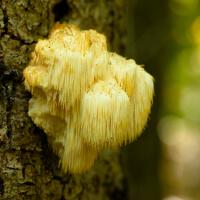 Lions Mane Mushrooms picture