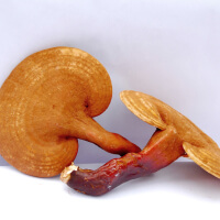Reishi picture