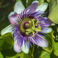 Passion Flower picture