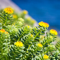 Take Rhodiola picture