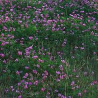 Astragalus picture